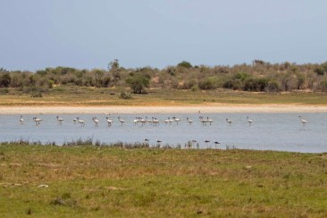 Lesser Flamingos and Black-winged Stilts