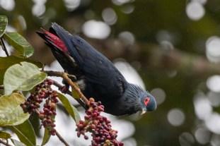 Madagascan Blue Pigeon