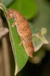 Horn-nosed Chameleon