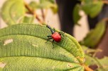 Giraffe-necked Weevil: the female is a strange looking-thing...