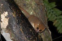 Eastern Rufous Mouse Lemur