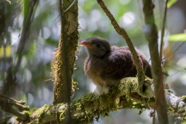 Red-fronted Coua chick, I think