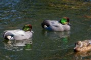 Displaying Falcated Duck