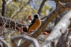 Daurian Redstart