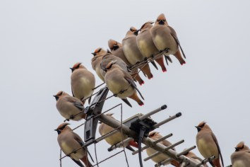 It's a great Waxwing year. This is part of a flock of over 50 Japanese Waxwings. We have even had a few Bohemian Waxwings mixed in.