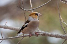 Hawfinch is quite a common bird in Japan