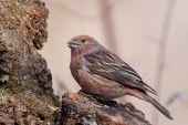 Pallas's Rosefinch