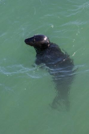Grey Seals were plentiful at Flamborough