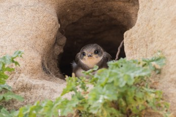 A trip to the seaside on Sunday has nesting Sand Martins