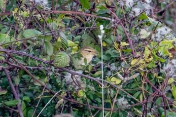 The Radde's Warbler finally shows itself
