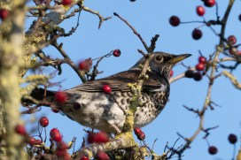 A Fieldfare from a couple of weeks ago when it was cold