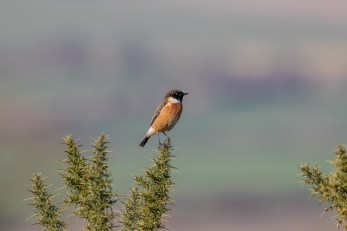 If you're looking for the Dartford Warbler on Cissbury, find the Stonechats...