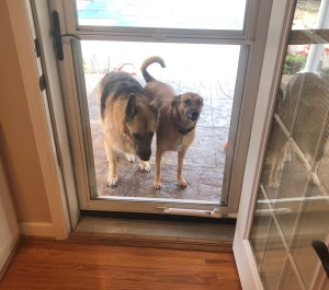 Our German shepherd Shilo and our assistant dog Caicos standing at our backdoor wanted to be let inside. Shilo is on the right and Caicos is on the left
