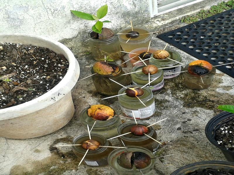 Inside Grow Avocado Tree