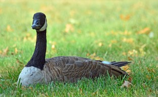 canadian-goose-andalusia02s