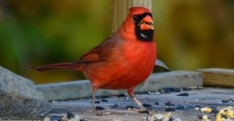 cardinal-pennypack-reserve04-s