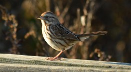 song-sparrow-pennypack04-s