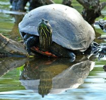 Eastern-River-Cooter-Bristol-Marsh-s