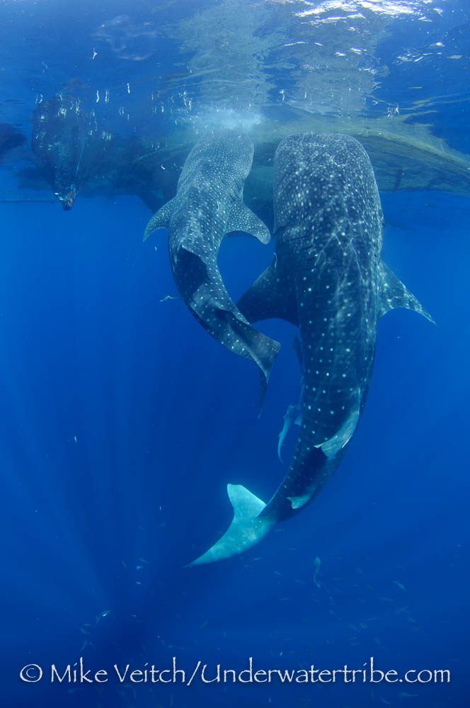 Two Whalesharks