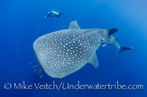 Diver and Whaleshark