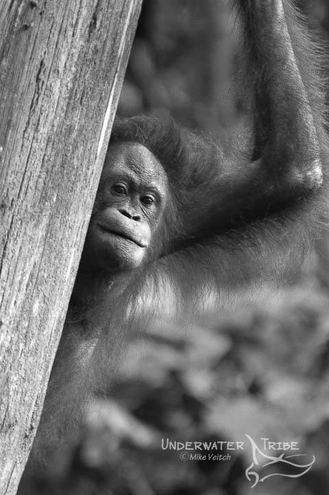 Orangutan Peeking