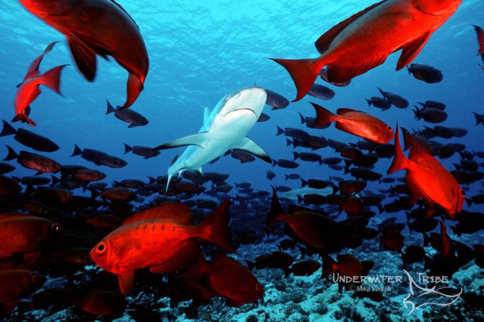 Grey Reef Shark and Bigeyes