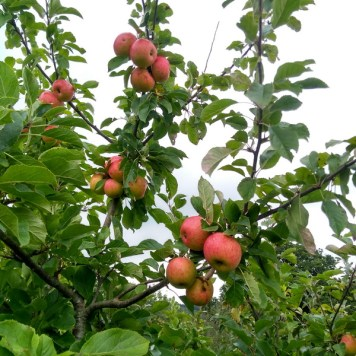 The apples are ready for picking