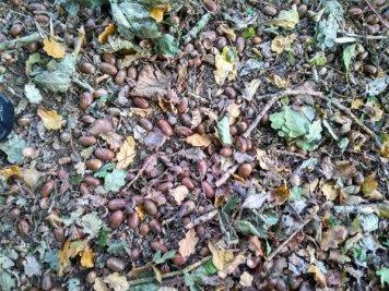 A treacherous carpet of acorns