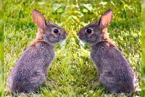 2種類のウサギ