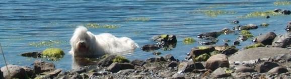 Venice køler sin drægtige mave af i vandkanten under en gåtur på Skrivernæbbet ved Skibby