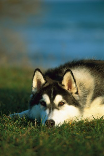 Siberian Husky (Canis familiaris) adult resting