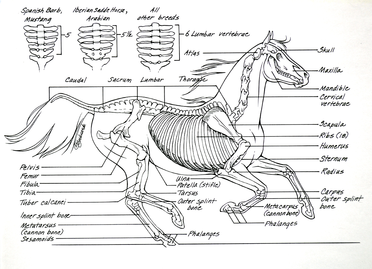Horse Anatomy Skeleton 867