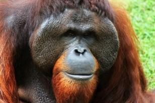 orangutan-250664_1280