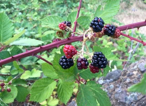OR berries