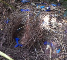 Satin bower bird bower Purlingbrook Falls