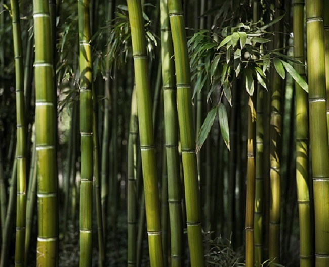 Does bamboo have any weaknesses?