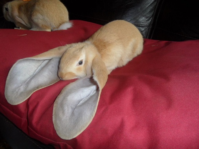 The English Lop's large ears