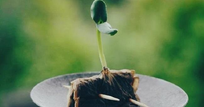 Boiled tea bag seed starter