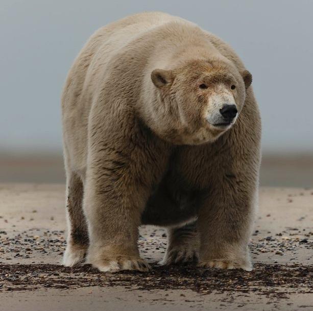 Fattest polar bear