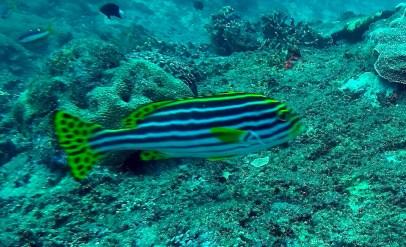 GT fish (thats Gili Trawangan)