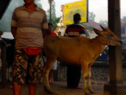 Kubu markets Joanne nearly brought this cow