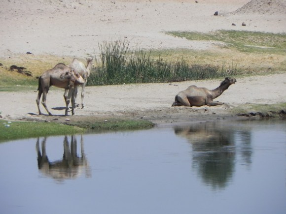 Camels relaxing on the riverbank