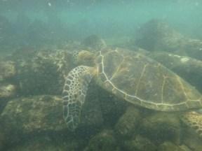Turtle at Honokohau Harbor