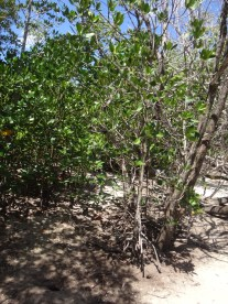 Mangroves during dry season