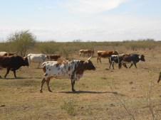 Kings Ranch Longhorns