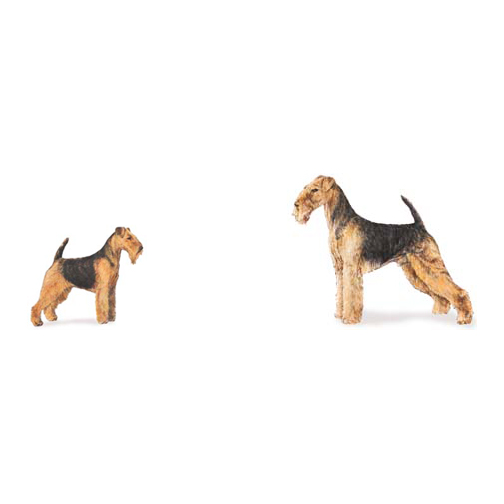 """Are Welsh Terriers Small Airedales?"""