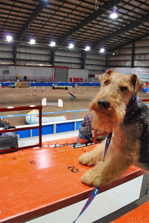 Our Fourth Agility Trial:</br> Running with the Big Dogs
