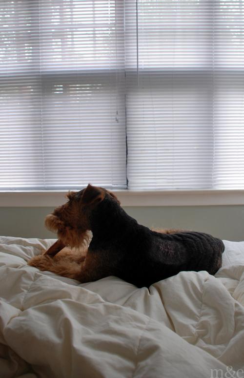 Brave Little Dog