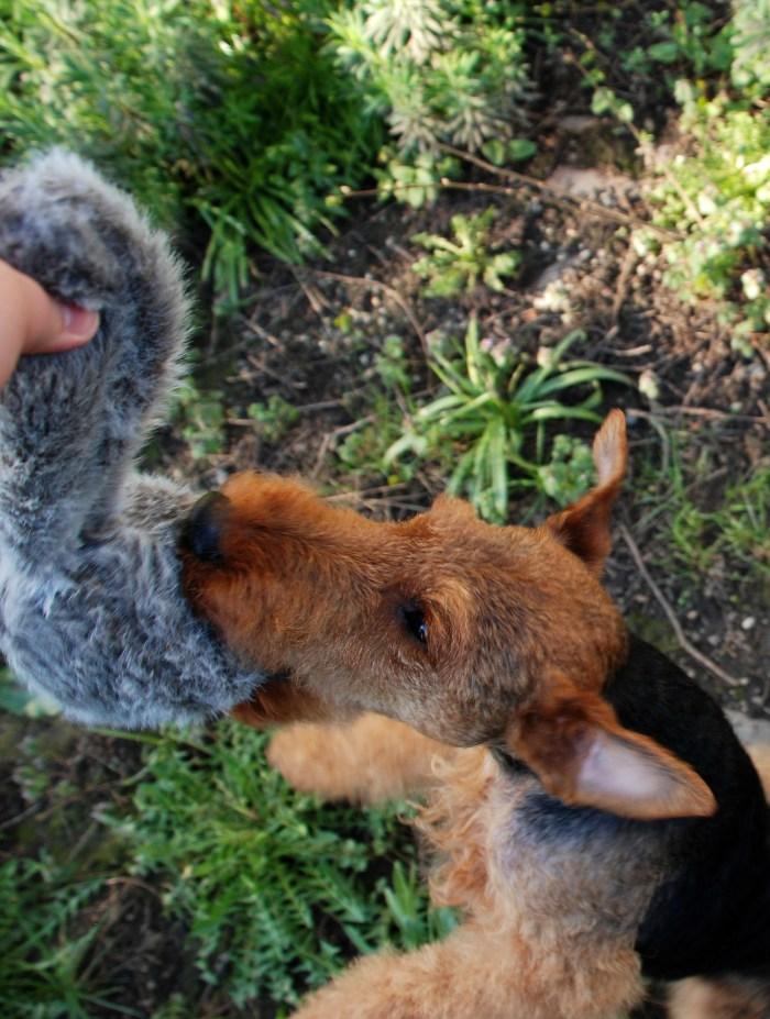 A toy wild enough for the terriers