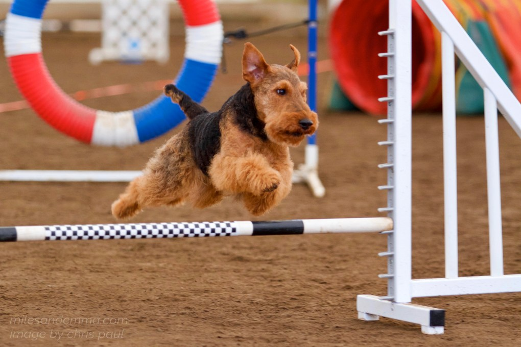 A Welsh Terrier's <b>Miles</b>tone Year in Agility